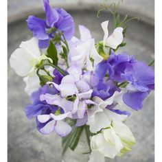 A lovely blue, mauve and white collection. Sweet Peas 'Hi-scent' (and it really is), 'Memorial Flight' and 'Noel Sutton'.