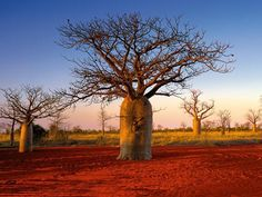 Kimberley Boabs -- Lonely Planet listing Kimberley as a must-see long needed, says Tourism Council of WA This is on my list for 2014 Western Australia, Australia Travel, Visit Australia, Tasmania, Baobab Tree, Lonely Planet, Places To See, Nature, Tourism