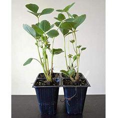 9GreenBox - Sparkle Strawberry Plant - 4 Pack