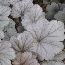Stainless Steel Heuchera | Heuchera | Perennial Plants | Jung Garden and Flower Seed Company