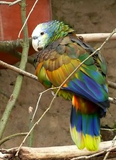 St. Vincent Amazon Parrot / (Vulnerable) about 734 Individuals left in the wild; population is increasing due to conservation action!