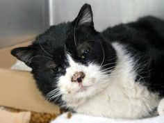 PINTO IS A BLACK AND WHITE KITTY WHO IS ABOUT 3 YRS OLD AND CAME INTO THE ACC SEVERELY INJURED. HE HAS POSSIBLE PELVIC FRACTURE AND OTHER HIND LIMB FRACTURES.  CANNOT PUT WEIGHT ON HIND LEGS AND IS IN PAIN.  NEEDS IMMEDIATE MEDICAL !
