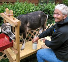 Want to know the truth about goat milking stand? If you're not sure whether to buy or build one, let these facts help you decide.