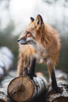 Red fox l animal photography Nature Animals, Animals And Pets, Baby Animals, Funny Animals, Cute Animals, Strange Animals, Wild Animals, Beautiful Creatures, Animals Beautiful