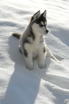 Siberian husky in the snow!