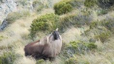Bull Tahr - The Journal of Mountain Hunting