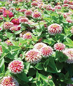 Swizzle Cherry And Ivory Zinnia Seeds and Plants, Annual Flower Garden at Burpee.com