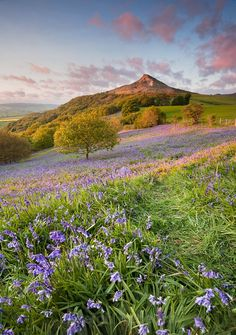 Bluebells at Sunset, Roseberry Topping, Yorkshire, UK by Leigh Rebecca Landscapes