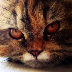 Frida #persa #pregnant #persian #cats