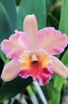 Blooms are quite large on Cattleya orchids and come in quite a few colors, most commonly pinks and purples.