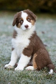 Australian Shepherd puppy sitting in a meadow,North Tyrol,Austria,Europe photo