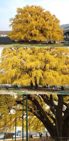 800년된 은행나무 가을 낙엽