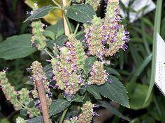 """Indisches #Patschuli (Pogostemon cablin) """"Indisches Patschuli (Pogostemon cablin) ist eine Pflanzenart aus der Familie der Lippenblütler (Lamiaceae). Sie ist bekannt für das aus ihr gewonnene Patschuliöl."""""""
