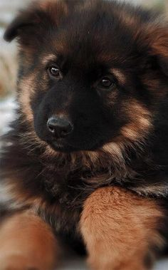 Black German Shepherd dogs mix has resulted in other breeds of dogs like Pugs, Collies, Huskies, and more.This brings out best qualities of both dog breeds. Gsd Puppies, Cute Puppies, Cute Dogs, German Shepherd Husky, German Shepherds, Baby Animals, Cute Animals, Hachiko, Schaefer