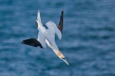 gannet diving - Google Search