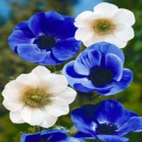 Anemone Windlower  Also known as Japanese anemone. It can grow in part shade or full sun in cooler areas. Blooms June to August and grows to 5-8 inches tall and wide. Cold Zones 5-8.