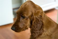 Ruby The Irish Red Setter by Rob Gale