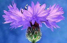Cornflower - for Amber