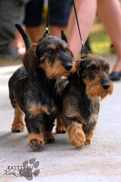 "Outstanding ""dachshund pups"" information is offered on our internet site. Dachshund Funny, Dachshund Puppies, Weenie Dogs, Dachshund Love, Cute Puppies, Chihuahua, Cute Dogs, Daschund, Doggies"