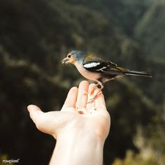 Tiny wild bird eating seeds out of a man's hand | premium image by rawpixel.com / Luke Stackpoole Penguin Illustration, Creative Illustration, Hand Photography, Amazing Photography, Man Images, Free Images, Fox Sketch, Rockhopper Penguin, White Bulldog