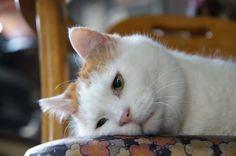 Like A Cat, I Love Cats, Cute Cats, Funny Cats, Turkish Angora Cat, Angora Cats, Animals And Pets, Funny Animals, Cute Animals