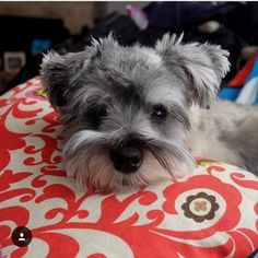 """524 Likes, 3 Comments - Schnauzer Planet (@schnauzer_planet) on Instagram: """"Looking for original Schnauzer products?➡️ CLICK the link in my profile to get it! SAVE money with…"""""""