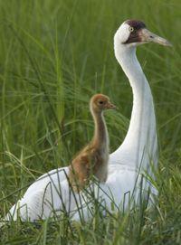 Mama and baby crane  Photo Joel Sartore/www.joelsartore.com