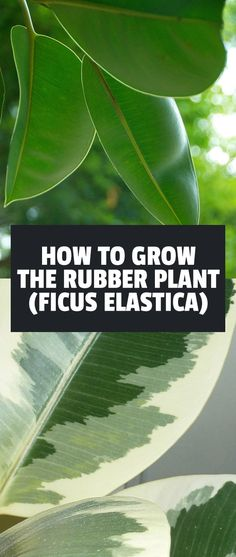 The rubber tree plant is a fantastic indoor houseplant and is pretty easy to take care of. Learn exactly how to grow ficus elastica in this in-depth guide.