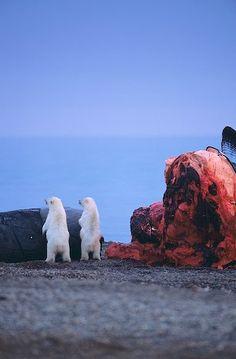 photo of Two Polar Bear Cubs Bowhead Whale Feeding North Slope Alaska Cute Small Animals, Large Animals, Adorable Animals, Oregon Road Trip, Road Trip Usa, Alaska Travel, Travel Usa, North To Alaska, Alaska Usa