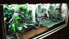 Red Eyed Tree Frog Terrarium Diy This Terrarium With A