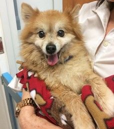 SQUEE 😍 Cute Muttville mutt: Leonard 4193 (Pomeranian mix | Male | Size: small (6-20 lbs))