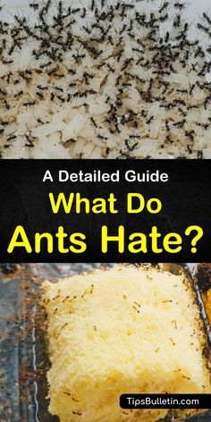 """Learn how to answer """"what do ants hate?"""" with homemade pest control. Discover how smells ants hate will keep them out of your food. Try natural repellents like peppermint oils and lavender to keep ants away and make your home smell great. Ant Killer Recipe, Sugar Ants, Bug Spray Recipe, Ants In House, House Bugs, Ant Problem, Diy Pest Control, Bug Control, Get Rid Of Ants"""