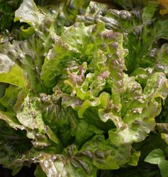 Lovelock Red Leaf Organic