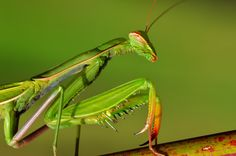 mantis green on green by Marcello Machelli on 500px