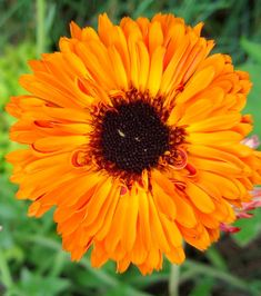 calendula October birth flower- orange and in season!
