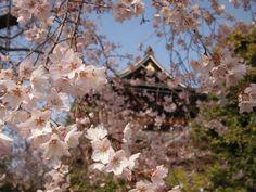 Sakura various.