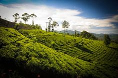 #Clarendon Estate is a beautiful tea garden located at an elevation of 1555 metres above sea level in Nanu Oya in the Talawakelle-Lindula agro climatic district. #SriLanka #CeylonTea #HighGrown #LightTea #Dilmah #DilmahTea #Tea #TeaEstate #TeaGarden #Ceylon #FinestTea #Quality #Produce #Green #Trees #Mist #Morning #Bushes