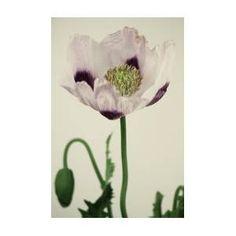 Papaver Somniferumizmir Bush Poppy by Farmer Images Farmer, Poppy, Plants, Poster, Image, Farmers, Plant, Billboard, Poppies