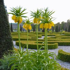 Majestätische Kaiserkronen (Fritillaria imperialis 'Maxima Lutea') im Schlossgarten. Pflanzzeit ist im Herbst - online bestellbar bei ww.fluwel.de