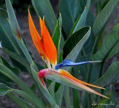 Bird-of-Paradise-flower-01