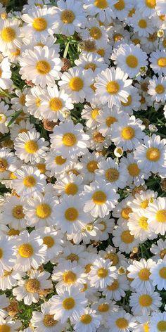 Daisy Background, Flower Background Wallpaper, Scenery Wallpaper, Aesthetic Pastel Wallpaper, Flower Backgrounds, Nature Wallpaper, Aesthetic Wallpapers, Wallpaper Backgrounds, Flor Iphone Wallpaper