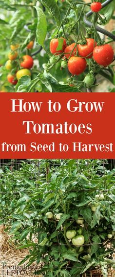 Grow Organic Tomatoes How to Grow Tomatoes in your garden. Gardening tips for Growing Tomatoes, including how to plant tomatoes, how to transplant tomato seedlings, and how to care for tomato plants. Growing Tomatoes Indoors, Growing Tomatoes From Seed, Growing Tomato Plants, Tomato Seedlings, Growing Tomatoes In Containers, Tomato Seeds, Caring For Tomato Plants, How To Plant Tomatoes, Container Vegetables