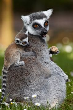 Baby backpack - Female ring-tailed lemur with baby.