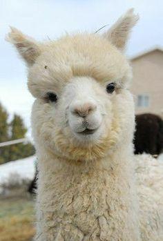Alpacas, Cute Little Animals, Cute Funny Animals, Cute Creatures, Beautiful Creatures, Fluffy Animals, Animals And Pets, Cute Alpaca, Cute Animal Pictures