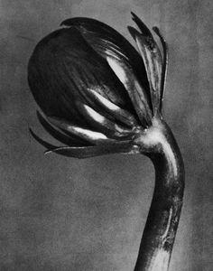 Eranthis hyemalis, Winter aconite, flower bud - Karl Blossfeldt (1865-1932)