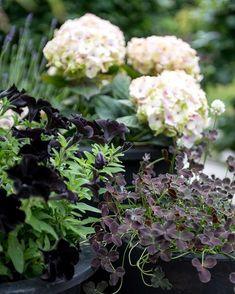 Ganska hopplös sommarblomma, petunian. Klibbiga blommor som inte tål regn och älskas av sniglar. Ändå kan jag inte motstå dem. Hos mig passar de svarta bäst. Här tillsammans med 'svart' klöver och #magicalhydrangea . Fler bilder på bloggen⬆️ Summer flowers in containers. . . . #junipaalmbacken #almbackenträdgårdsdesign #containers #krukor #svartpetunia #petunia #krukkehave #krukker #pots #pottedgarden #almbacken #gardenlife #gardeninspiration #trädgårdsinspiration #trädgårdsliv