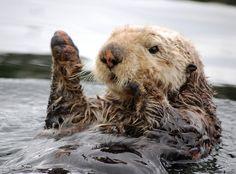 Sea Otter by J_Kovarik - Taken at Point Baker, Alaska - http://www.flickr.com/photos/48893052@N04/6262058770