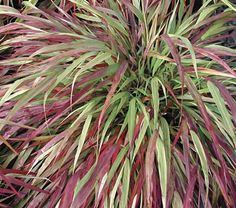 Hakonechloa macra 'Beni-Kaze' Japanese translation is 'Red Wind' which is perfect for this gorgeous forest grass. A flowing graceful green through the summer but in fall when the weather cools the blades take on varying shades of red. A beautiful, easy shade groundcover.