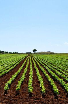 Vines 101: Puglia Wine.  http://www.butterfield.com/blog/2013/02/27/vines-101-puglia-wine/  #travel #Puglia #Italy #wine #guide #holiday #destination #vacation #trip #myBNR