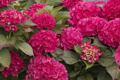 | Why are my Hydrangeas not blooming? | Having trouble with your hydrangeas not blooming? Find out how to fix the problems so that you can grow these beautiful flowers in your garden.